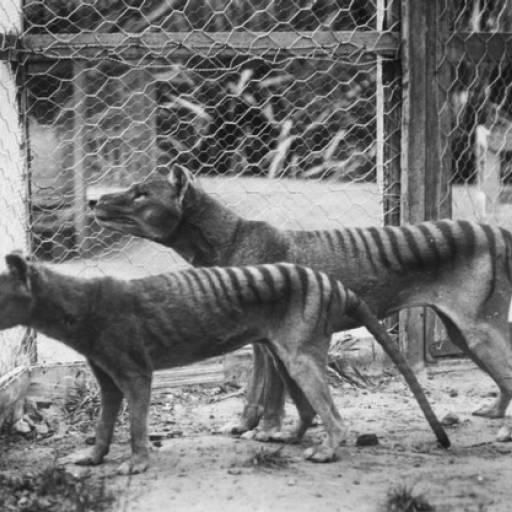 Benjamim, o último lobo-da-tasmânia, morreu e a espécie extinguiu-se