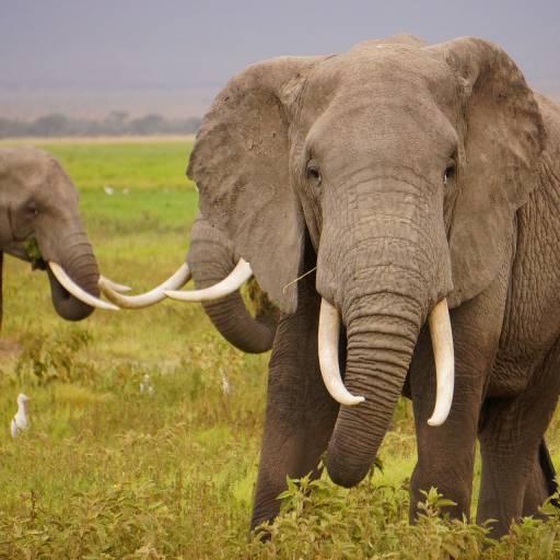 O Quenia proíbe a caça de elefantes e o comércio do marfim